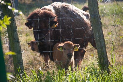 Bison Ranch Langschlag